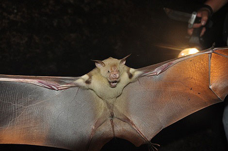 Fruit bat of Gabon - Photo R. Oslisly