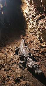 Unique: a crocodile living in the caves of Gabon!